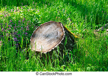 Tree stump in the spring forest on a green blooming meadow .