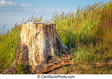 Tree stump of cut-out spruce on a grassy meadow.