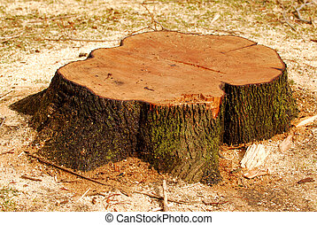 Tree stump - Stump of a freshly cut tree surrounded by saw...