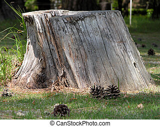 Tree Stump - tree stump in a pines forest