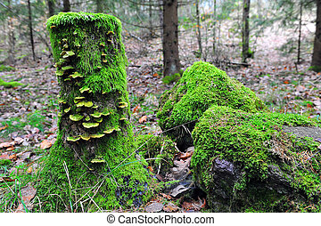 Tree Stumps with Fungus