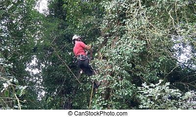 Tree Surgeon at work in a tall tree. - Footage Tree Surgeon...