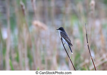 Tree Swallow bird on the reed branch