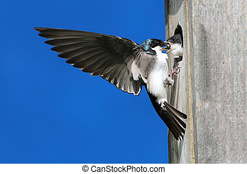 Tree Swallow Feeding Babies - Tree Swallow (tachycineta...