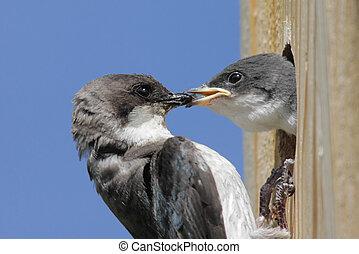 Tree Swallow Feeding Baby - Mother Tree Swallow (tachycineta...