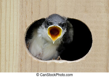Tree Swallow In a Bird House - Tree Swallow (tachycineta...