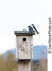 Tree Swallow on a nest box at Richmond  BC Canada,
