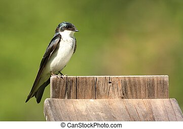 Tree Swallow on a Nest Box - Tree Swallow (tachycineta...