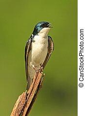 Tree Swallow on a stump - Tree Swallow (tachycineta bicolor)...