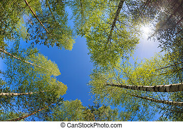 Tree tops against blue sky