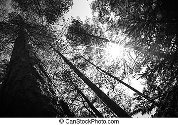 Tree tops an the Sun in the forest