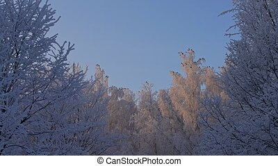 Tree tops covered with frost low angle view - Beautiful tree...