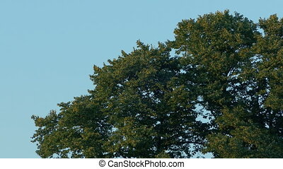 Tree Tops In Breeze At Sunset - Tree in afternoon breeze in...