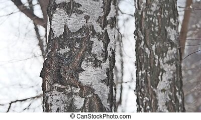 tree tree birch winter close-up russia nature the landscape...