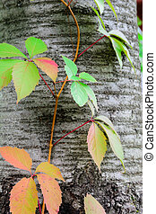 Tree trunk and leaves of wild grapes. Colorful autumn