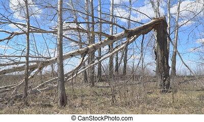 Tree trunk broken by hurricane