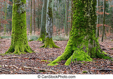 Tree trunk overgrown with moss. Old trees in deciduous forest.