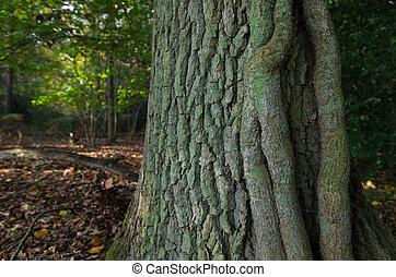 tree trunk - oak tree trunk in a forest