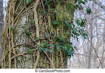 Tree trunk with Common Ivy