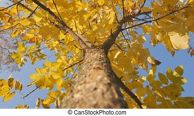 Tree trunk with yellow leaf on the sky background. Shot of treetops in autumn.
