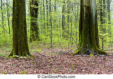 tree trunks covered with moss in the forest