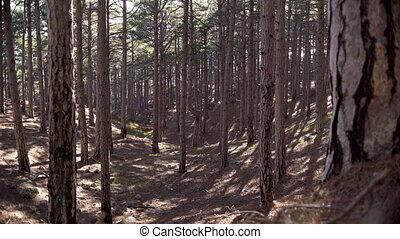 Tree trunks in the coniferous forest in sunlight
