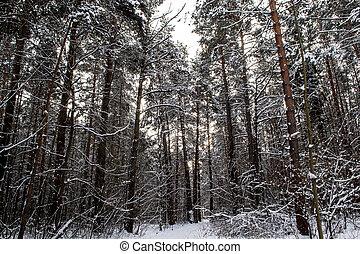 Tree trunks in winter forest