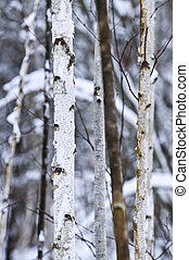 Tree trunks in winter
