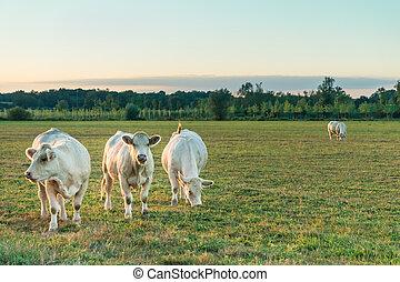 Tree white bulls grazing in green meadow in twilight, landscape of Bourgogne. France, Burgundy.