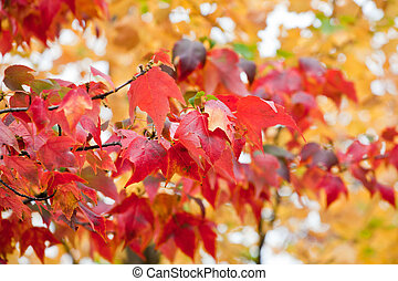 Tree with bright red leaves in the autumn