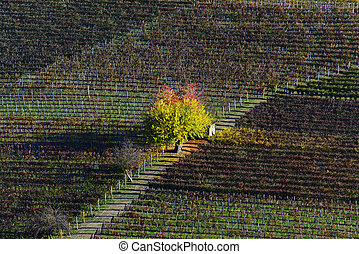 Tree with colorful leaves in the center of an autumn vineyard