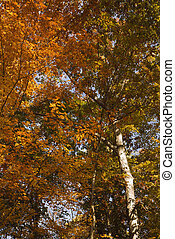 Tree with Fall foliage.