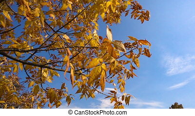 Tree with golden leaves moving against blue sky