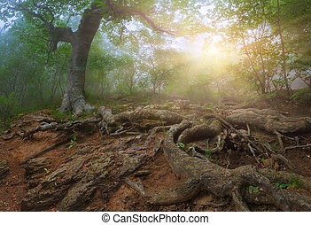 Tree with huge roots in the  mystical forest. Sunrise