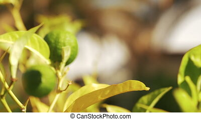 Tree with lime fruit in sun light - Close-up shot of coming...
