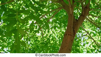Tree with lush foliage and sun blinking through leaves in...