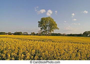 Tree with rape field in Lower Saxony, Germany