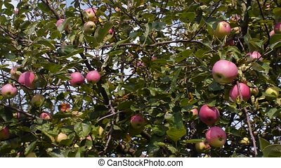 Tree with red apples in an orchard. Pan shot.
