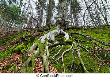 Tree with roots in the beautiful beech forest - Tree with...