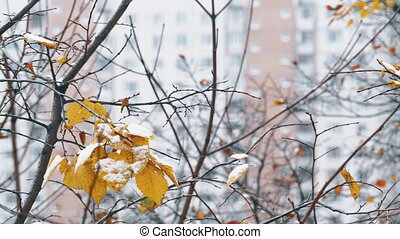 Tree with snow on few dry leaves. Winter in the city -...