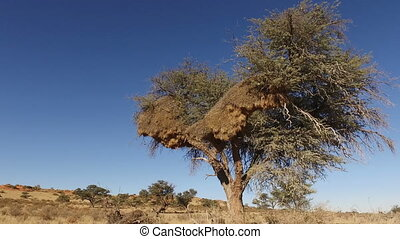 Tree with sociable weaver nest - African thorn tree with...