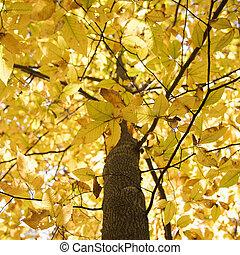 Tree with yellow Fall foliage.