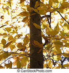 Tree with yellow leaves.