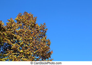 tree with yellow leaves in autumn and blue sky
