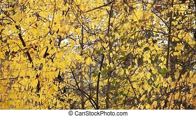 tree yellow leaves background - tree with Yellow Leaves in...