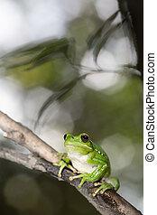treefrog hypsiboas riojanus exotic and tropical tree frog...