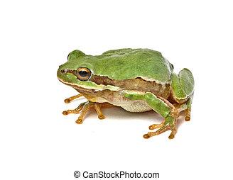 Treefrog isolated on white background
