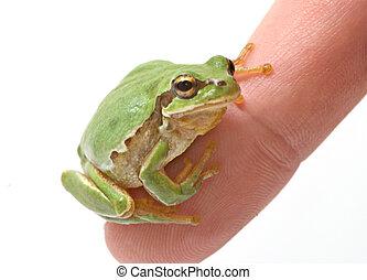 Treefrog on finger