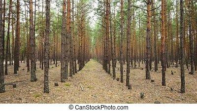 trees, весна, 4k, 240fps, хвойный, 2160p., видео, forest.