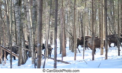 trees, европейская, бизон, зима
